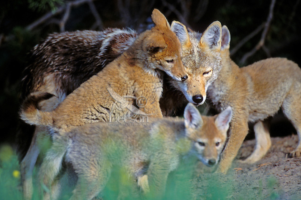 Wild Coyotes--mother with pups near den.  Western U.S., June.
