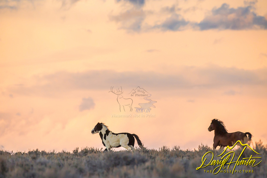 Running mustangs, sunset, Wyoming Desert, Farson Wyoming