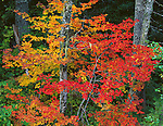 Mt. Rainier National Park, WA     <br /> Fall colored vine maples (Acer circinatum) in the forest of Stevens Canyon