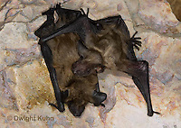 MA20-729z  Big Brown Bat 6 week and 4 week old young,  Eptesicus fuscus