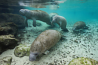 RQ31128-D. Florida Manatees (Trichechus manatus latirostris), congregating near a spring to conserve warmth during winter. Though rotund in appearance, manatees lack a thick blubber layer and are therefore vulnerable to cold stress. Florida, USA.<br /> Photo Copyright &copy; Brandon Cole. All rights reserved worldwide.  www.brandoncole.com