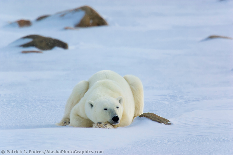 Male Polar bear rests on the snow, Hudson Bay, Churchill, Manitoba, CANADA