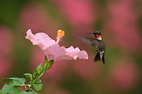 Ruby-throated Hummingbird (Archilochus colubris), male feeding on Pink Hibiscus, Hill Country, Central Texas, USA