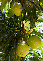 Seychelles, Island La Digue: Breadfruit tree<br />