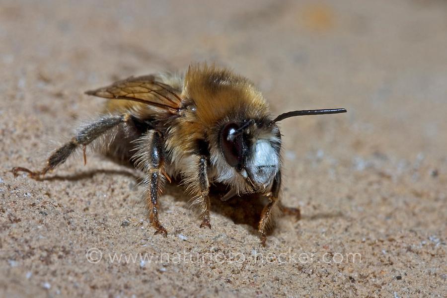 Wand-Pelzbiene, Wandpelzbiene, Schornstein-Pelzbiene, Schornsteinpelzbiene, Trug-Pelzbiene, Trugpelzbiene, Lehm-Pelzbiene, Lehmpelzbiene, Anthophora plagiata, Anthophora parietina, digger bee, Hairy Footed Flower Bee, Anthophore des murailles, Pelzbienen