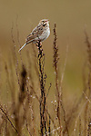 Baird's Sparrow in song, North Dakota.