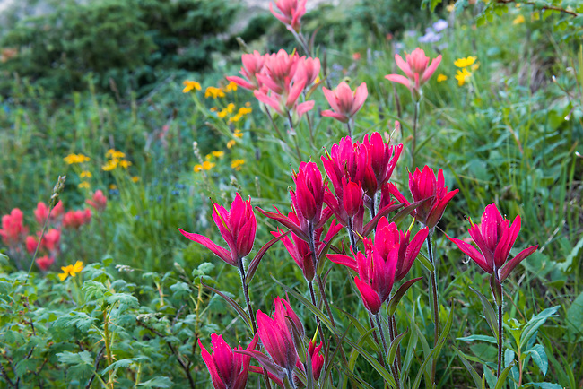 rosy paintbrush at Gorge Lakes in Rocky Mountain National Park, Colorado, USA