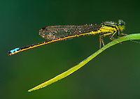A Green Clearwing Dragonfly perched on a blade of grass.