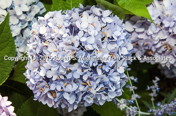 Hydrangea lavendar color