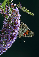 Painted lady on butterfly bush