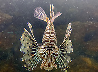 Lionfisch im Ozeanium im Vergnügungspark Zoomarine - 25.09.2019: Zoomarine Park, Guia, Albufeira an der Algarve