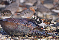 Ruddy Turnstone, walking in horseshoe crab shell, Moores Beach, New Jersey