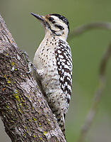 Adult female ladder-backed woodpecker