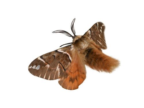 Kentish Glory - Endromis versicolora - Male
