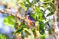 Azure KIngfisher, Daintree River, Queensland, Australia