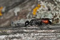 Wanzen-Grabwespe, Wanzengrabwespe, Weibchen, Astata spec., digger wasp, female, Grabwespen, Spheciformes