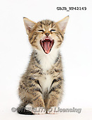 Kim, ANIMALS, REALISTISCHE TIERE, ANIMALES REALISTICOS, fondless, photos,+Tabby kitten, 6 weeks old, yawning,++++,GBJBWP42149,#a#