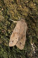 Zweifleck-Kätzcheneule, Braungelbe Frühlingseule, Anorthoa munda, Perigrapha munda, Orthosia munda, twin-spotted Quaker, Eulenfalter, Noctuidae, noctuid moths, noctuid moth
