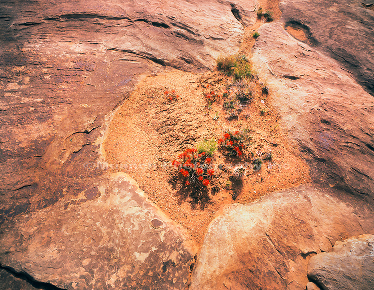 Indian Paintbrush flowers in sandstone,White Rim Trail,Canyonlands National Park,Utah