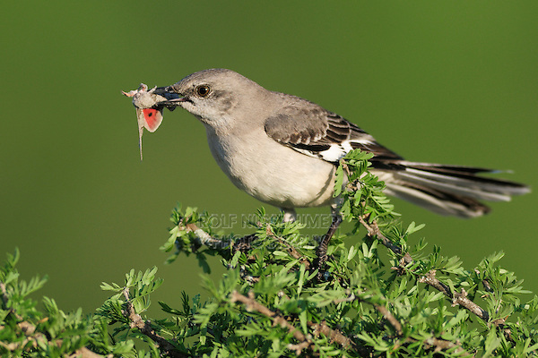 Northern Mockingbird (Mimus polyglottos), adult with moth prey, Laredo, Webb County, South Texas, USA