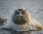 Hippo bursts through water in front of photographer