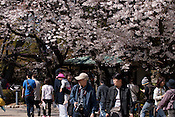 People enjoying viewing cherry blossoms at Nagoya Castle.