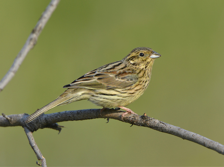 Cirl Bunting Emberiza cirlus L 16-17cm. Well-marked bunting. Olive-grey rump allows separation from Yellowhammer (with red-brown rump) at all times. Sexes are dissimilar. Adult male has black and yellow on head. Breast, nape and crown are greenish grey and underparts are yellow, flushed and streaked chestnut on flanks; back is reddish brown. In winter, colours are duller. Adult female has dark and yellowish stripes on head, streaked greenish grey crown, nape and breast and streaked yellowish underparts. Back is reddish brown. Juvenile is similar to adult female but paler. Voice Utters a sharp tziip call. Song is a tuneless rattle, recalling Lesser Whitethroat. Status Once widespread in S, now restricted to S Devon; recently reintroduced to Cornwall. Favours low-intensity farmland with hedgerows