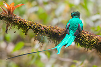 The resplendent Quetzal is arguably one of the most beautiful birds in the world.  This large {(36 to 40 cm (14–16 in) long, plus up to 65 cm (26 in) of tail extension on the male} trogan is found in montane cloud forests from southern Mexico to western Panama.
