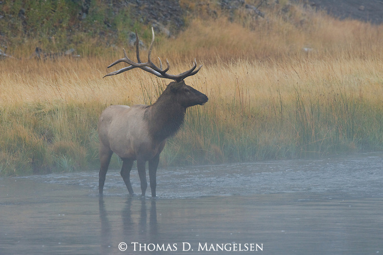 A bull elk pauses while crossing a river in Yellowstone National Park, Wyoming, to look around his surroundings.