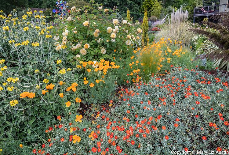 Indianola, WA: Summer perennial garden featuring rock rose (Helianthemum sp) orange poppies, roses and phlomis