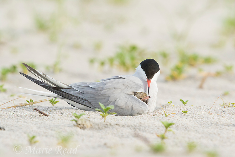 Common Tern (Sterna hirundo) brooding chick peeping out from under it wing, Nickerson Beach, Long Island, New York, USA