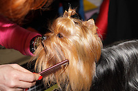 Yourkshire Terrier being groomed before going into the show ring at the international dog show in Prague, May 2014. Owner combing the dog, owner wearing a pink blouse.