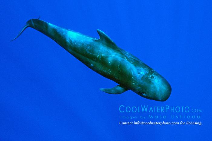 short-finned pilot whale, .Globicephala macrorhynchus, .Big Island, Hawaii (Pacific)