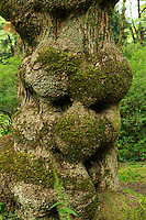 Face on big leaf maple tree in Columbia River Gorge Oregon