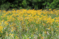 Stock photo: Gorgeous tiny mustard yellow wild flowers in the cades cove valley of the smoky mountains national park in Tennessee USA.