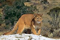6565326248 a captive mountain lion felis concolor walks along a snow covered ridgeline in central montana
