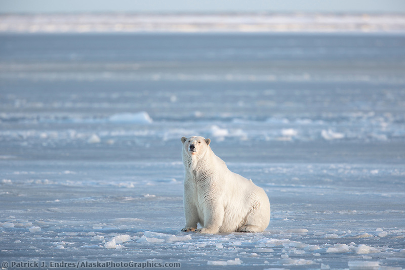 Adult polar bear on the newly formed sea ice on the Beaufort Sea.