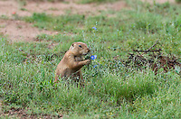 673010019 a wild black-tailed prairie dog cynomis ludovicianus in a small prairie dog town on empire ceienega natural conservation area pima county arizona
