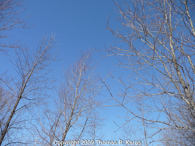 The midday winter sun displays a crystal clear blue sky and trees  without leaves.
