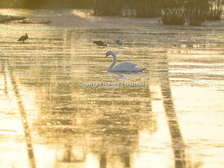 June 8, 2014: Lone swan in Orlando Wetlands Park Christmas, FL