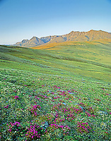Wildflowers, Lapland Rosebay, colors the tundra in the Jago River Valley in the Romanzof Mountains part of the Brooks Range in the Arctic National Wildlife Refuge, Alaska, AGPix_0720.