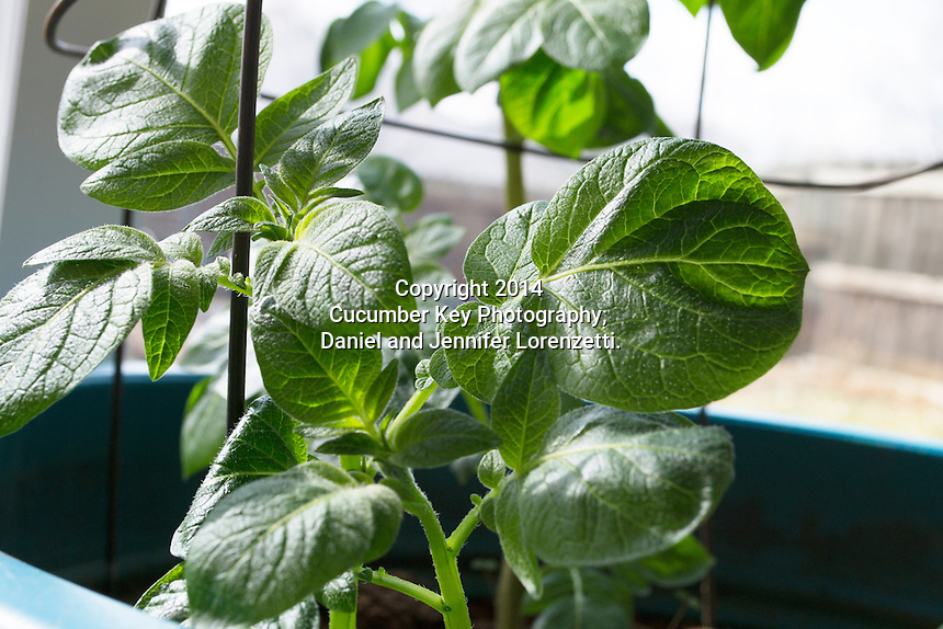 Potatoes growing in a container show their characteristic mature leaves.