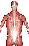 A posterior view of the muscles of the upper body. Royalty Free