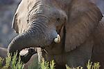 Namibia;  Namib Desert, Skeleton Coast,  desert elephant (Loxodonta africana) bull, portrait