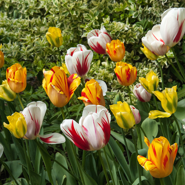 'Yellow Spring Green' and mixed tulips streaked tulips, early May.