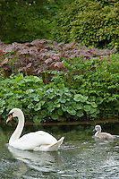 Female mute swan, Cygnus olor, and her cygnet in Southrop in the Cotswolds, Gloucestershire, UK