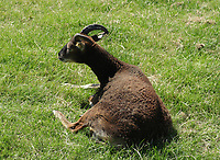 Ziege im Gras - Werdum 24.07.2020: Haustierpark Werdum