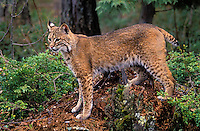Bobcat. Spring. Rocky Mountains. North America. (Felis rufus).