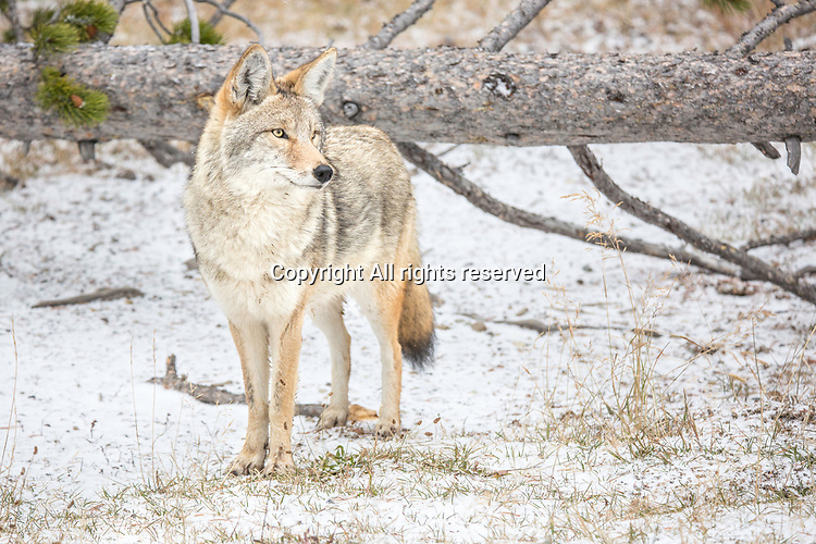 Coyotes are a common sight in Yellowstone.
