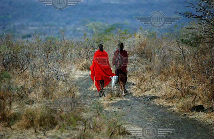 Two Masai pastoralists walk through the bush in the Ngorongoro highland area. Thousands of Masai people have been displaced by the establishment of protected conservation areas in Kenya. Masai interests have been marginalised due to their semi-nomadic lifestyle and lack of political representation.